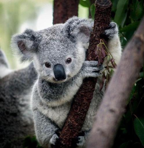 kirk-the-koala